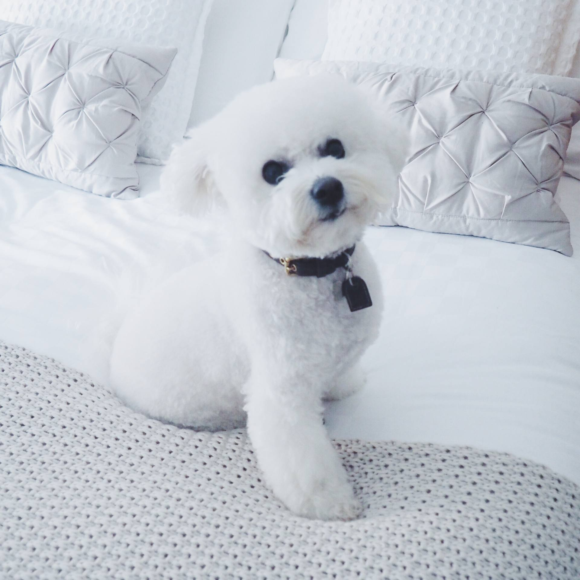 A picture of a white fluffy dog